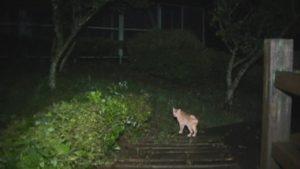 鹿児島県出水市の東光山公園の木でできた遊歩道を歩く猫